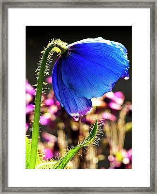 Himalayan Blue Poppy Framed Print by Ian Gowland