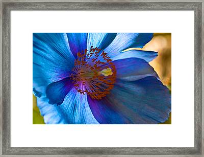 Himalayan Blue Poppy IIi Framed Print