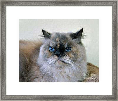 Himalayan Persian Cat Framed Print by Catherine Sherman