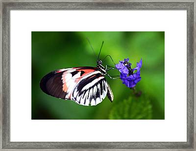 Hint Of Red Butterfly Framed Print