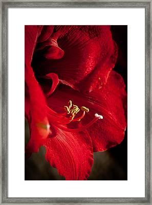 Hippeastrum Framed Print