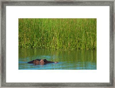 Hippo  Hippopotamus Amphibius  Peeking Framed Print