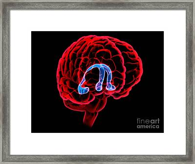 Hippocampus And Fornix Framed Print by Evan Oto