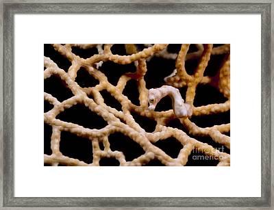 Hippocampus Denize Pygmy Seahorse Framed Print by Matthew Oldfield