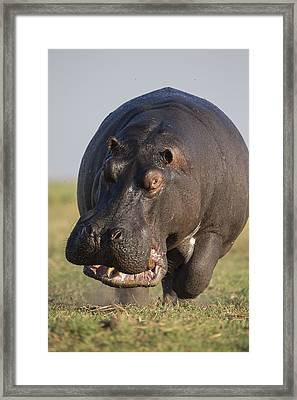 Hippopotamus Bull Charging Botswana Framed Print by Vincent Grafhorst