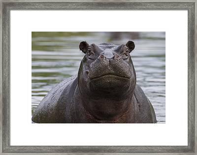 Hippopotamus Bull Khwai River Botswana Framed Print