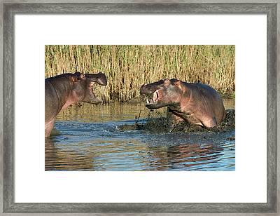 Hippopotamus Confrontation Framed Print
