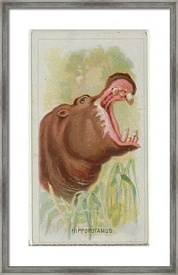 Hippopotamus, From The Wild Animals Framed Print by Allen & Ginter