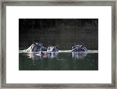 Hippopotamus Pod In A Waterhole Framed Print by Tony Camacho