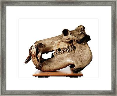 Hippopotamus Skull Framed Print by Ucl, Grant Museum Of Zoology