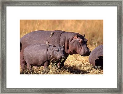 Hippopotamuses With Oxpeckers Framed Print