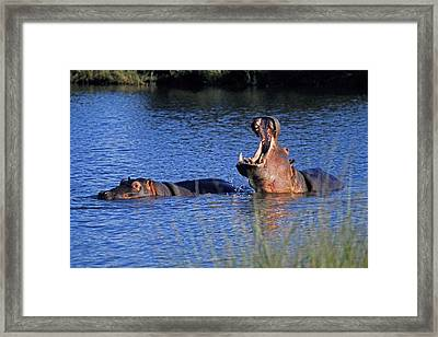 Framed Print featuring the photograph Hippos by Dennis Cox WorldViews