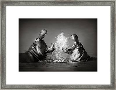 Hippo's Fighting Framed Print by Johan Swanepoel
