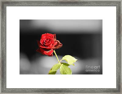 Hiroshima Rose Framed Print by Cassandra Buckley
