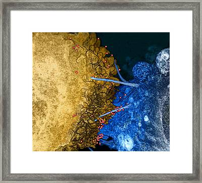 Hiv Virions, Filopodial Bridges Framed Print by Science Source