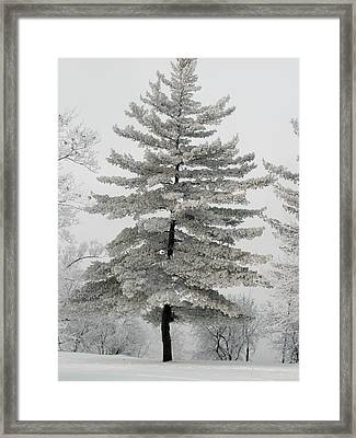Hoarfrost Pine Tree Framed Print