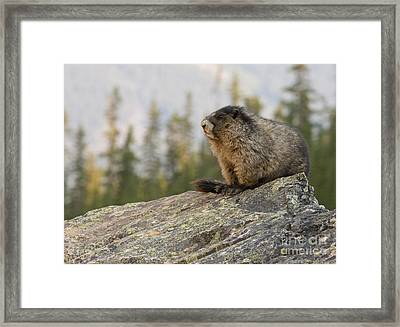 Framed Print featuring the photograph Hoary Marmot by Chris Scroggins