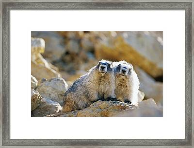 Hoary Marmot Pair Sitting On Rock Framed Print by Thomas Sbamato