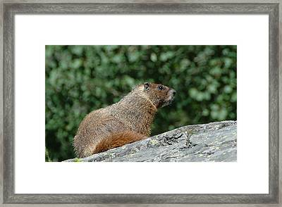 Framed Print featuring the photograph Hoary Marmot by Paul Miller