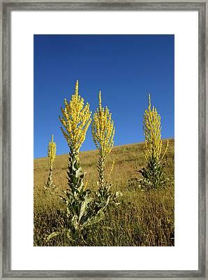 Hoary Mullein (verbascum Pulverulentum) Framed Print by Nigel Downer