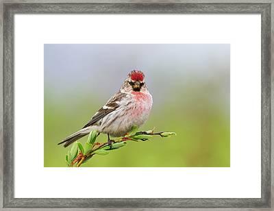 Hoary Redpoll Framed Print by Ken Archer