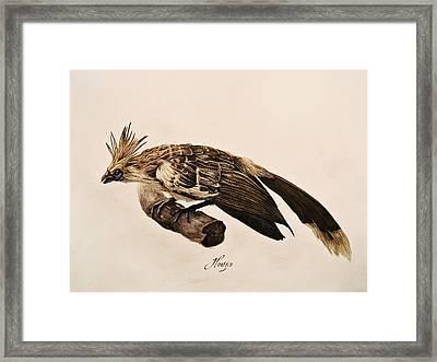 Hoatzin Framed Print by Rachel Root