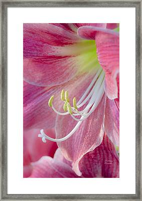 Holiday Amalfi Amaryllis In Pink Framed Print by Julie Palencia
