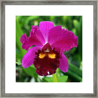 Holiday Orchid Framed Print by William Dey