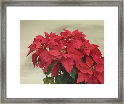 Holiday Poinsettia Framed Print by Kim Hojnacki