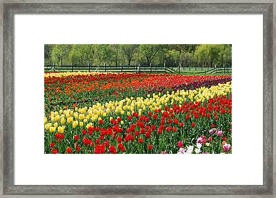 Holland Tulip Fields Framed Print by Michael Peychich