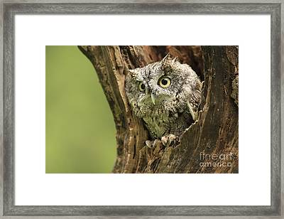 Hollow Screech- Eastern Screech Owl Framed Print by Inspired Nature Photography Fine Art Photography
