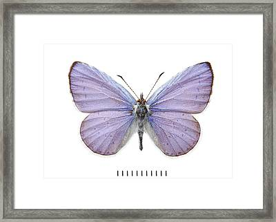 Holly Blue Butterfly Framed Print by Natural History Museum, London