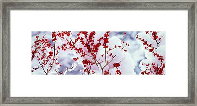 Holly Trees Kyoto Keihoku-cho Japan Framed Print