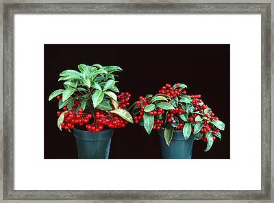 Holly Framed Print by Unknown