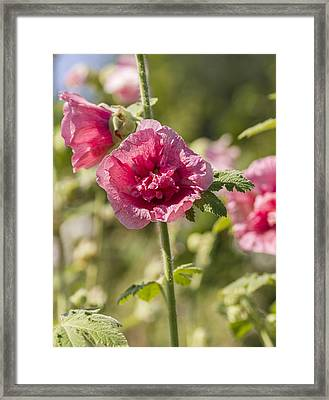 Hollyhock Framed Print