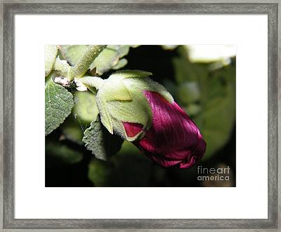 Framed Print featuring the photograph Hollyhock Shadows by Ann E Robson