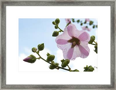 Framed Print featuring the photograph Hollyhock With Raindrops by Lana Enderle