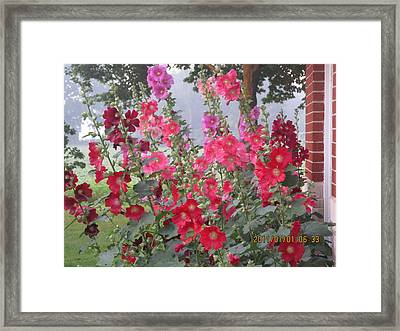 Hollyhocks Mix Framed Print by Tina M Wenger