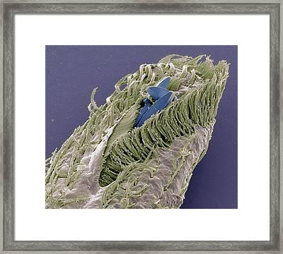 Holosticha Ciliate Protozoan Framed Print