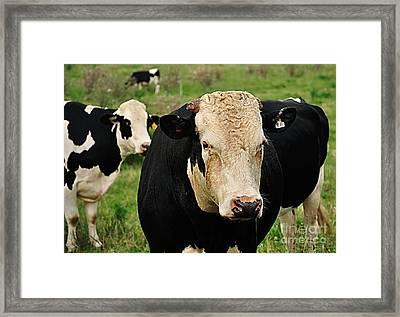 Holstein Friesian Bull Framed Print by Kaye Menner