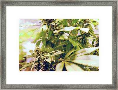 Home Grown Cannabis Plants 1 Framed Print