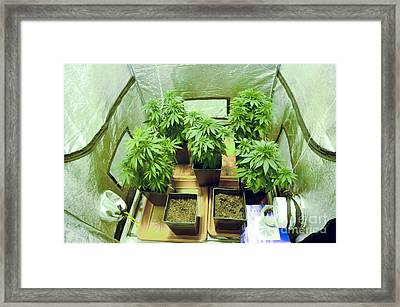 Home Grown Cannabis Plants 2 Framed Print