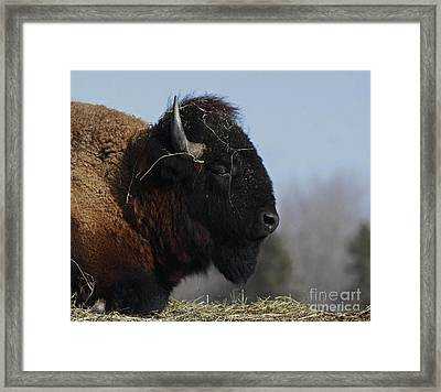 Home On The Range Bison Framed Print