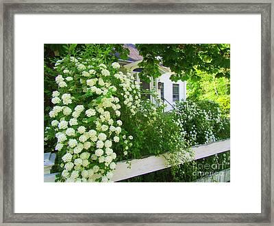 Homestead Bridal Wreath Framed Print by Elizabeth Dow