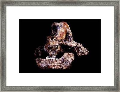 Homo Ergaster Skull (sk-847 And Sk-15) Framed Print by Science Photo Library