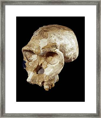 Homo Habilis Cranium (oh 24) Framed Print by Science Photo Library