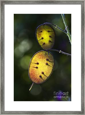 Honesty Seed Pods Framed Print