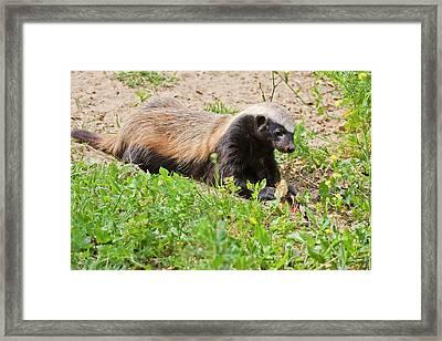 Honey Badger (mellivora Capensis) Framed Print by Photostock-israel
