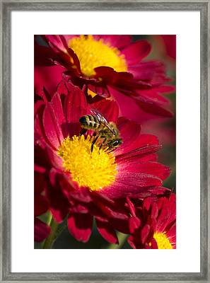 Honey Bee And Chrysanthemum Framed Print by Christina Rollo