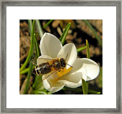 Honey Bee And Crocus Framed Print by Chris Berry